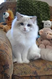 17 best images about ragdoll cats ontario kittens ragdolls ragdoll essex ontario cats kittens southwestern ontario windsor