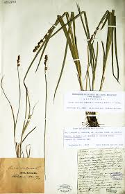 Lectotypification of Carex nemorosa var. cuprina and clarification of ...