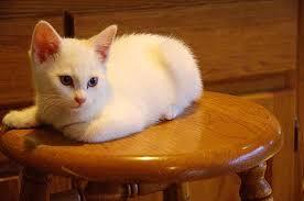 Image result for white kitten