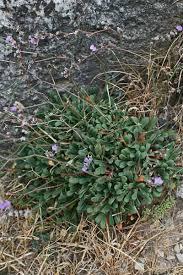 Limonium morisianum, flora di Sardegna
