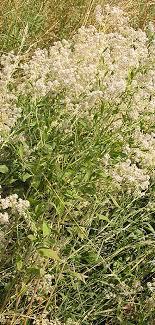 Lepidium latifolium - Wikipedia