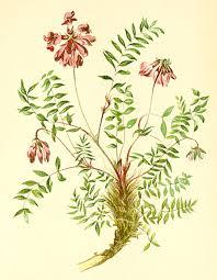Oxytropis jacquinii – Wikipedia