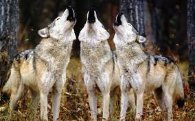 Image result for wolf howling