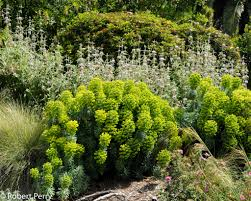 Mediterranean spurge - Inland Valley Garden Planner