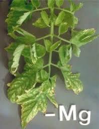 магний в растениях