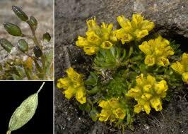 Draba hoppeana Rchb. - Sistema informativo sulla flora delle Alpi ...