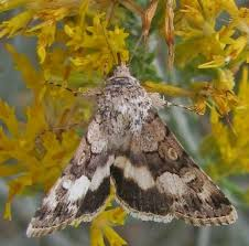 <b>Moth</b> on <b>rabbit</b> brush - Sympistis albifasciata - BugGuide.Net