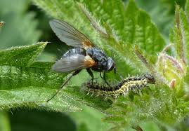 Image result for tachinid flies identification