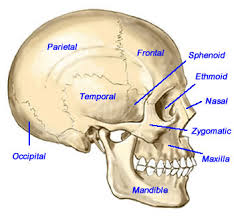 Billedresultat for cranial bones