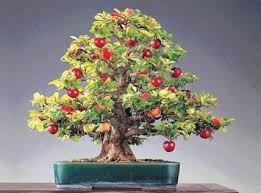 grow full size fruits in a fraction of the area with bonsai trees bought bonsai tree