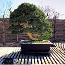 cheap tree seeds juniper bonsai tree seeds best juniper bonsai bonsai tree for office