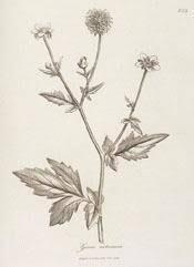 A Modern Herbal | Avens