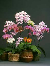 Novice <b>Phalaenopsis</b> Culture Sheet