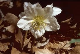 Helleborus niger - Michigan Flora