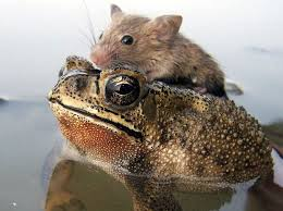 Image result for frog vs rat