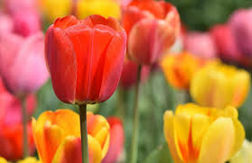 Growing <b>Tulips</b>: How to Plant, Grow, and Care for <b>Tulip</b> Flowers ...