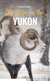 snowboard essay images about non stop destination photo essay meet the animals from the yukon wildlife