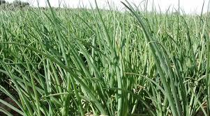 Влияние на урожайность <b>лука и</b> чеснока | Yara Россия