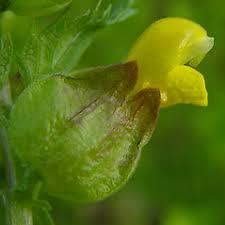 Rhinanthus minor (little yellow-rattle): Go Botany