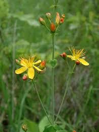 Hypericum pulchrum - Wikipedia