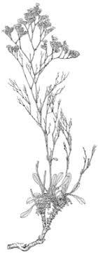 Limonium bellidifolium — Italiano
