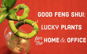 lucky plants for the home and office bringing feng shui office