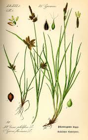 Carex pilulifera – Wikipedia tiếng Việt
