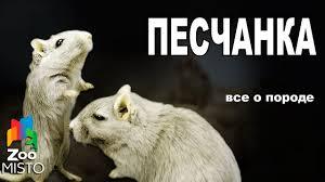 Песчанка - Все о виде грызуна   Вид грызуна - Песчанка - YouTube
