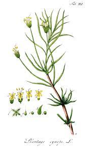 File:Plantago cynops Ypey41.jpg - Wikimedia Commons