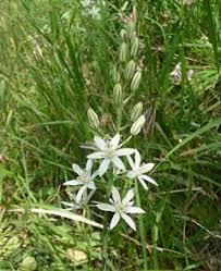 Ornithogalum narbonense Star Of Bethlehem PFAF Plant Database