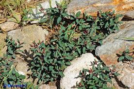 Euphorbia gayi - Euforbia di Gay - ATLANTIDES: Miscellanea di ...