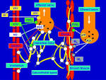 urinary tract physiological processes