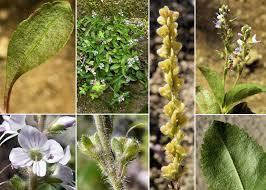Veronica officinalis L. - Sistema informativo sulla flora delle Alpi ...