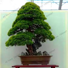 <b>Big Promotion</b>!<b>100 PCS</b>/bag Sacred Japanese Cedar Plantas ...