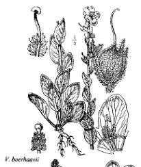 Sp. Verbascum boerhaavii - florae.it