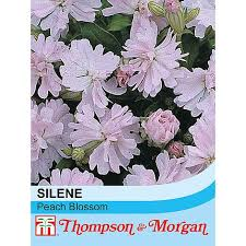 Silene pendula 'Peach Blossom' seeds | Thompson & Morgan