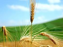 """Résultat de recherche d'images pour """"pictures of wheat plants"""""""