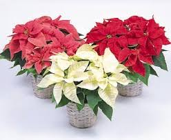 National Poinsettia Day - Fun and Facts with Kids