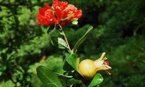 Resultado de imagen para planta y fruta de granada