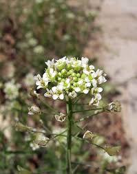 Capsella - Wikipedia