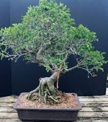 old chinese elm bonsai chinese elm specimen bonsai tree 25yrs old ce1 chinese elm bonsai tree