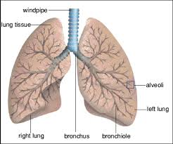 teempee  diagram of the lungsa diagram of the human lungs  inside the lungs the bronchi tubes split into