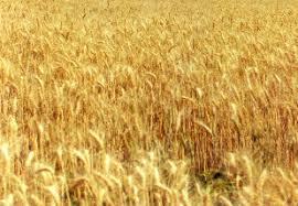 Resultado de imagem para produção de trigo no brasil