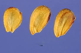 Plants Profile for Alisma plantago-aquatica (European water plantain)