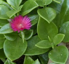 Aptenia cordifolia coltivazione