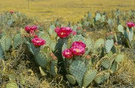 Image result for prickly pear cactus bloom