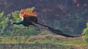 aqa psychology psya relationships sexual selection theory peacock flying jpg