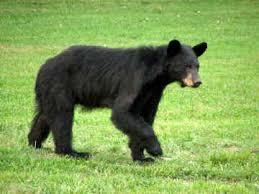 Image result for black bear