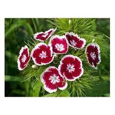<b>Турецкая гвоздика</b> ( Dianthus barbatus) | Отзывы покупателей