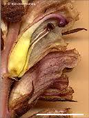 Orobanche alba